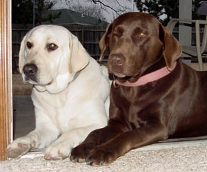 Labrador Off White