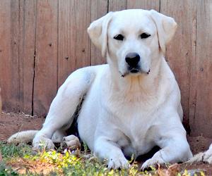 Macchiato White Labrador Retriever Puppies English Build