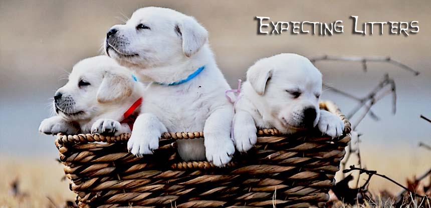 White English Labrador Retriever Puppies For Sale Family Raised